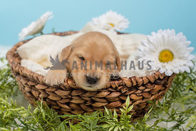 sleepy puppy in a basket