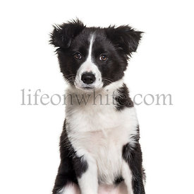 Three months old puppy black and white Border Collie dog sitting against white background