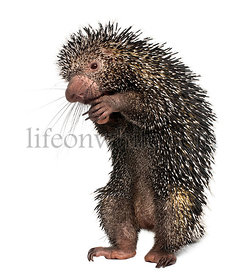 Brazilian Porcupine, Coendou prehensilis, standing in front of white background