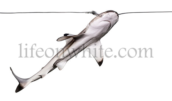 Blacktip reef shark swimming up to the surface, viewed from below, Carcharhinus melanopterus, isolated on white