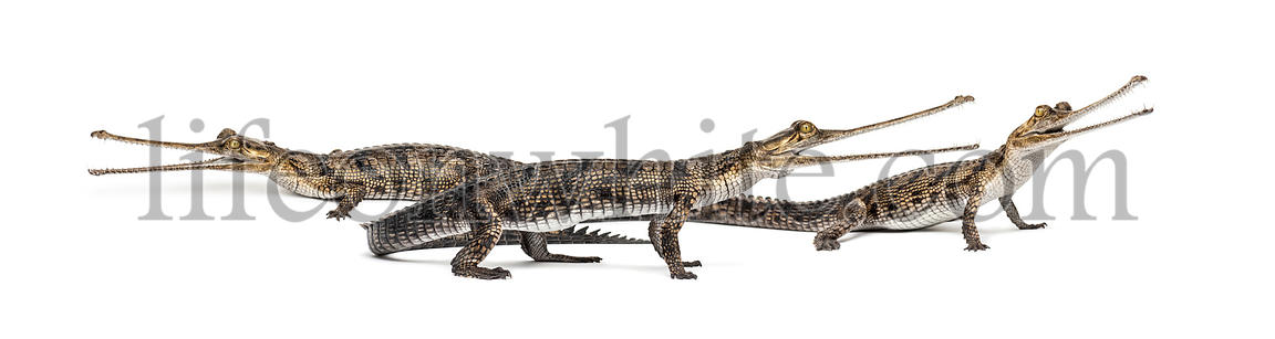 Group of young Fish-eating crocodile, Gavial, Gavialis gangeticus, isolated on white