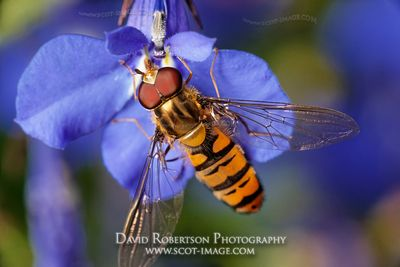 Image - Male Episyrphus balteatus, or Marmalade hoverfly feeding on Lobelia flower