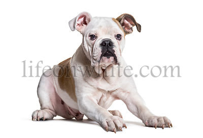 English Bulldog, 5 months old, against white background