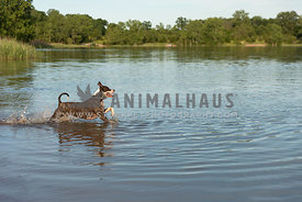 A terrier jumping into a lake in the summer