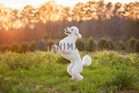 white standard poodle standing on back legs sun setting behind him