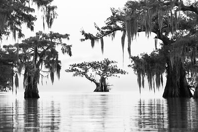 Cypress & Cormorants III