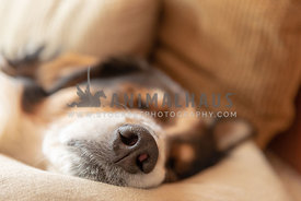 Close up of a sleeping dog's nose