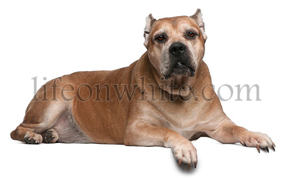 Cane Corso, 9 years old, lying in front of white background