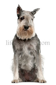 Standard Schnauzer, 7 years old, sitting in front of white background