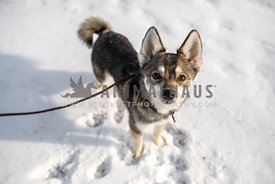 An Alaskan klee kai standing in the snow on a leash