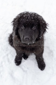 A newfoundland puppy sitting in the snow