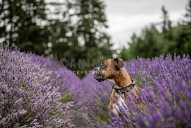 Dog in Lavendar
