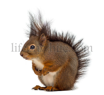 Red squirrel in front of a white background