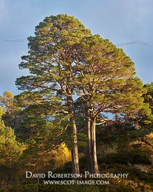 Image - Scots Pine trees in Glen Affric, Inverness, Highland, Scotland