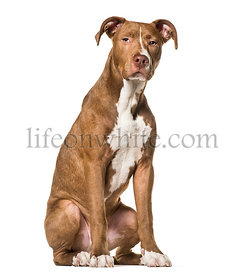 American Pit Bull Terrier , 6 months old, sitting against white background