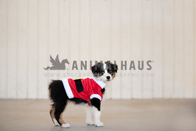 australian shepherd puppy wearing santa shirt