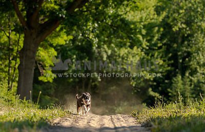 An australian shepherd puppy running on a dirt path