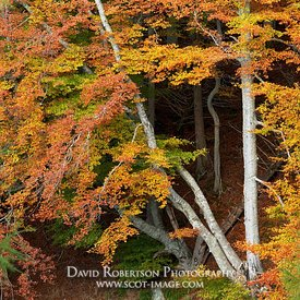 Prints & Stock Image - Close up of beech tree trunks and leaves in autumn colours, Strathdon, Aberdeenshire, Scotland.