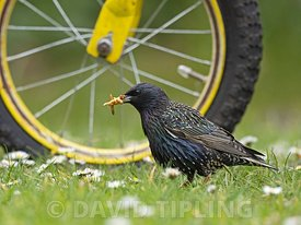 Starling, Sturnus vulgarus collecting mealworms in garden, Norfolk summer