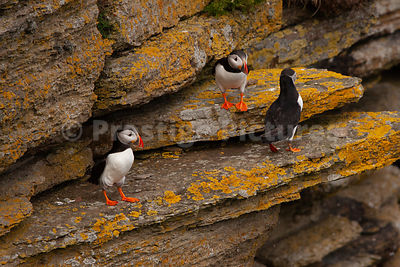 Three puffins on stony ledge