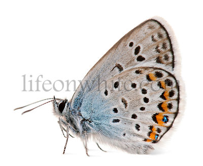 Silver-studded Blue, Plebejus argus -Species of Lepidoptera, called also Hairstreak Butterfly, in front of white background