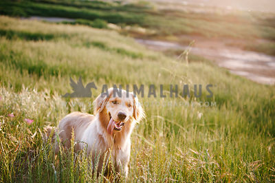A golden retriever standing in a field of tall green grasses