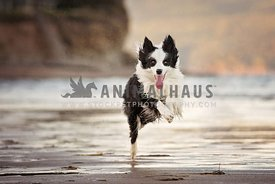 Border collie running at the beach