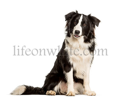 border collie dog sitting against white background
