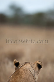Rear view of Lioness in Serengeti, Tanzania, Africa