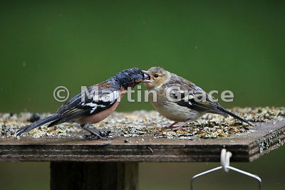 Common Chaffinch (Fringilla coelebs) fledgling (right) being fed by the male (left) in rain, Badenoch & Strathspey, Scottish ...