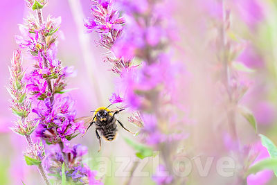 Bumblebee flying towards camera between purple flowers.