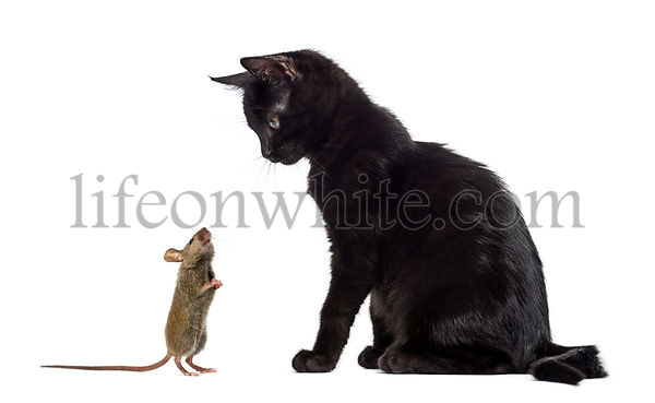 Black kitten sitting and looking at a mouse sniffing him in front of a white background