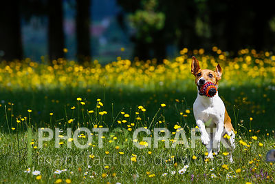 Jack Russel Terrier playing and posing