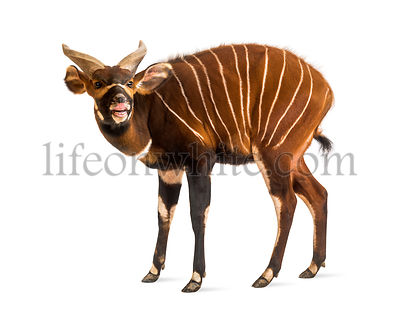 Bongo sniffing, antelope, Tragelaphus eurycerus standing against white background