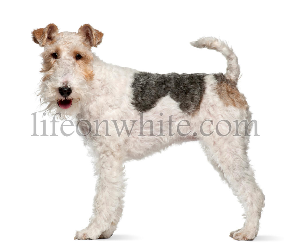 Fox terrier, 1 year old, standing in front of white background