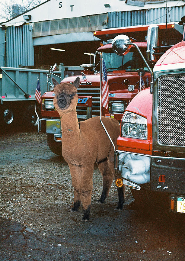 Alpaca in NYC