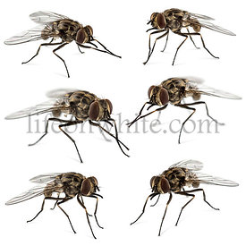 Collection of common houseflies , isolated on white