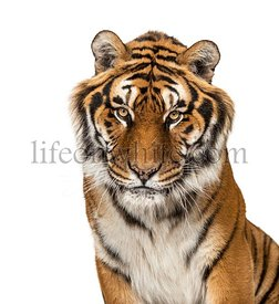 Close-up on a Tiger's head, isolated on white