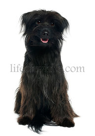 Pyrenean shepherd, 12 years old, sitting in front of white background