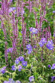 Geranium 'Brookside' and Salvia 'Amethyst' in the Perennial Meadow at Scampston Hall Walled Garden, North Yorkshire, designed...