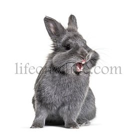 Expressive Grey young rabbit standing in front, isolated, making a face