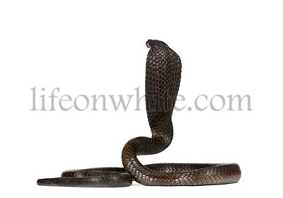 Rear view of Egyptian cobra, Naja haje, against white background, studio shot