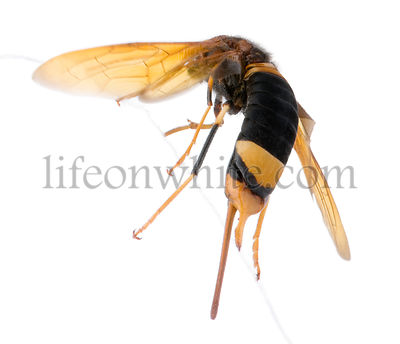 Horntail or wood wasp, Urocerus gigas